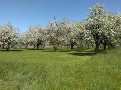 Apple trees Turgau